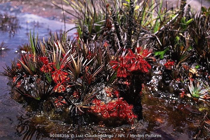Sundew (Drosera roraimae), Mount Roraima, Venezuela  -  Luiz Claudio Marigo/ npl
