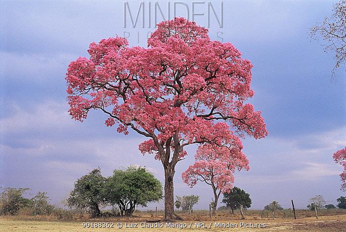 Pink tajibo tree in flower (tabebuia avellanedae) Bolivia  -  Luiz Claudio Marigo/ npl