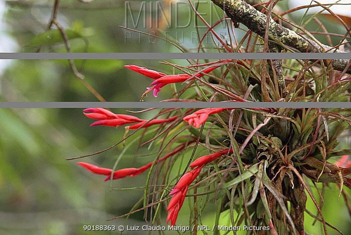 Bromeliad flowers (Tillandsia paraensis) Amazonas, Brazil  -  Luiz Claudio Marigo/ npl