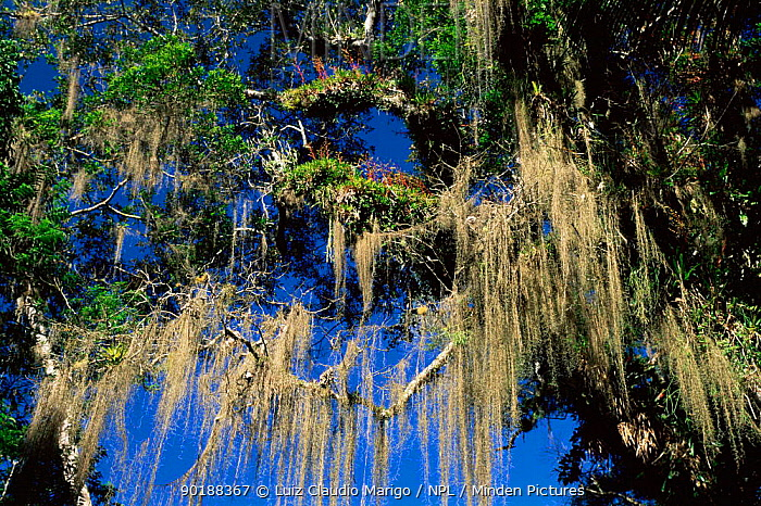 Minden Pictures Stock Photos Bromeliad Tillandsia Usneoides