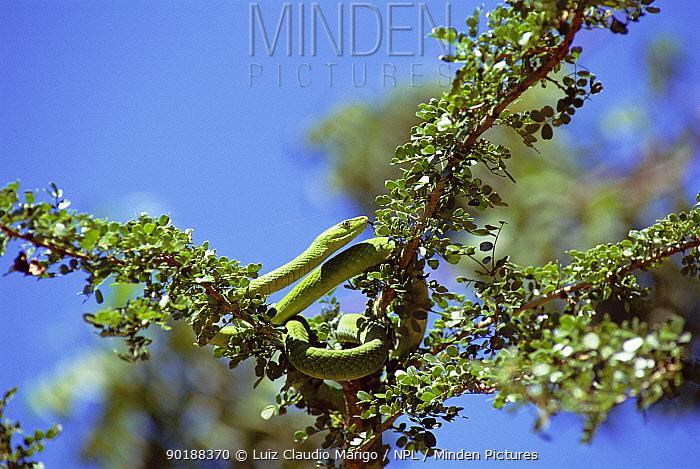 Eastern green mamba (Dendroaspis angusticeps) Arabuko-Sokoke forest, Kenya  -  Luiz Claudio Marigo/ npl