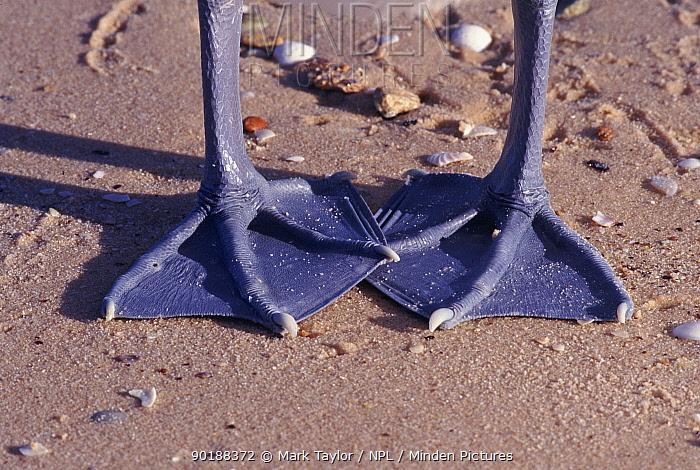 Australian pelican (Pelecanus conspicillatus) feet  -  Mark Taylor/ npl
