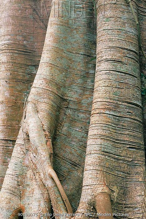 Root and bark detail of tree in tropical forest, Assam, India  -  Elio Della Ferrera/ npl