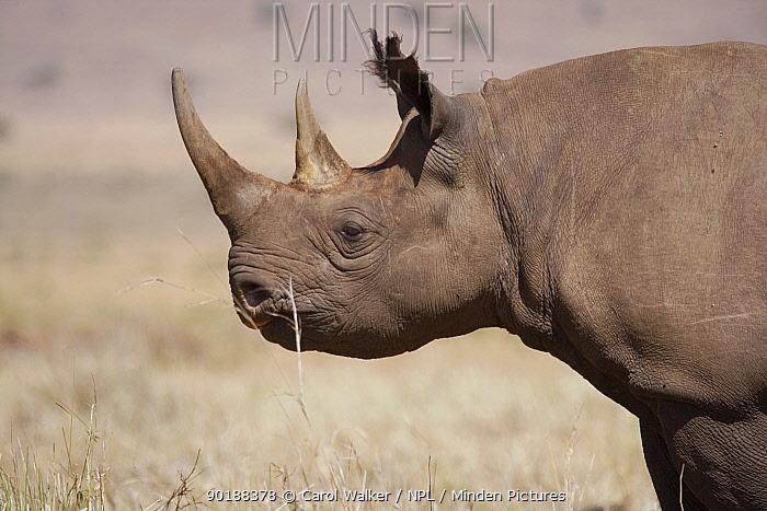 Female Black rhino (Diceros bicornis) eating, Lake Nakuru, Kenya  -  Carol Walker/ npl