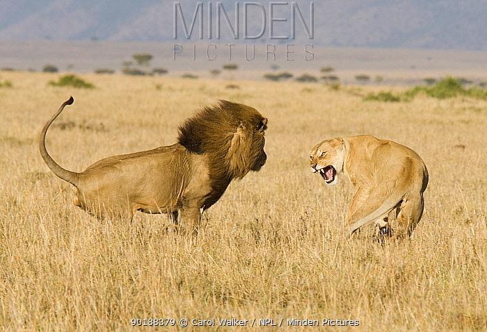 African lion (Panthera leo) approaching Lioness to mate, Masai Mara, Kenya  -  Carol Walker/ npl