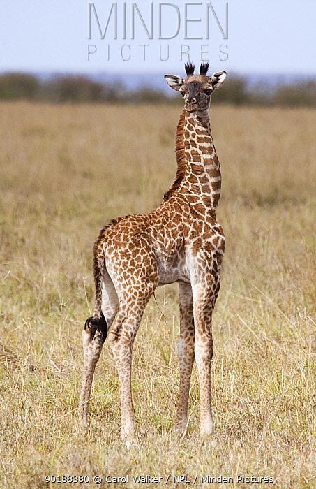 Rothschild's Giraffe (Giraffa camelopardalis rothschildi) newborn portrait, Masai Mara, Kenya  -  Carol Walker/ npl