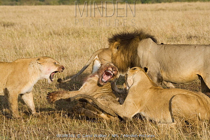 Young male lion (Panthera leo) being chased away from kill by lionesses and mature lion, Masai Mara, Kenya  -  Carol Walker/ npl