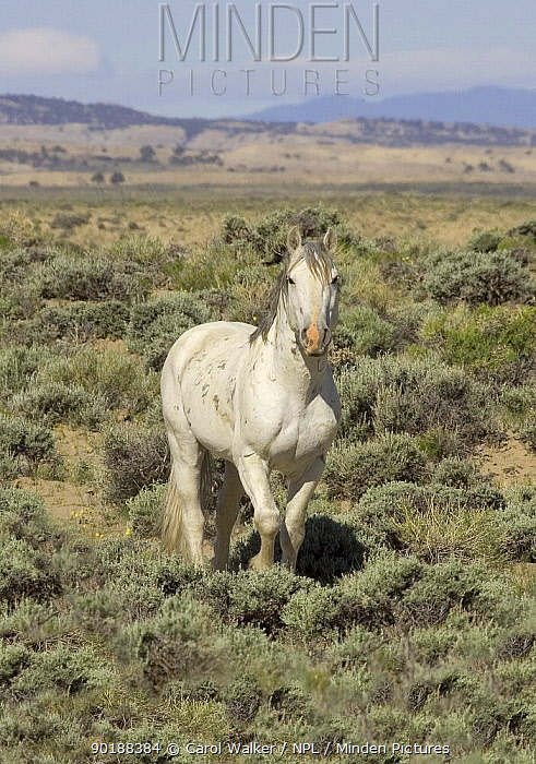 Wild grey stallion (Equus caballus) portrait, 10-year, Adobe Town, Southwestern Wyoming, USA  -  Carol Walker/ npl