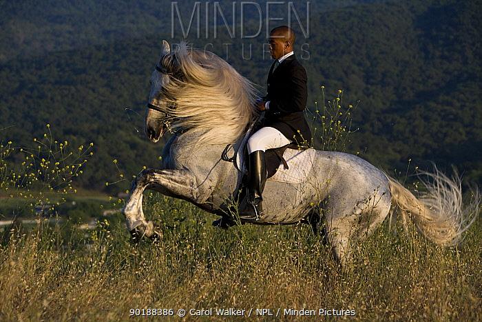 Gray Andalusian Stallion, (Equus caballus) with rider, levade, Ojai, California, USA  -  Carol Walker/ npl
