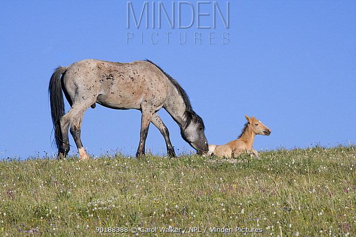 Wild horses (Equus caballus) blue roan stallion waking up and sniffing palomino filly, Pryor Mountains, Montana, USA  -  Carol Walker/ npl