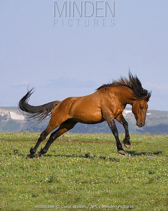 Wild horse (Equus caballus) red dun stallion leaping, Pryor Mountains, Montana, USA  -  Carol Walker/ npl