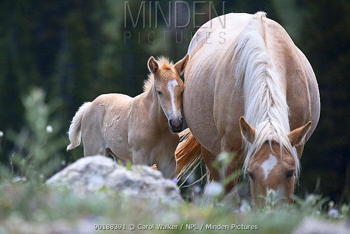 Wild horses (Equus caballus) palomino mare and foal, Pryor Mountains, Montana, USA  -  Carol Walker/ npl