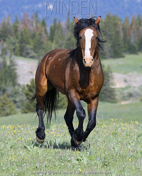 Wild horse (Equus caballus) Bay stallion cantering portrait, Pryor Mountains, Montana, USA  -  Carol Walker/ npl
