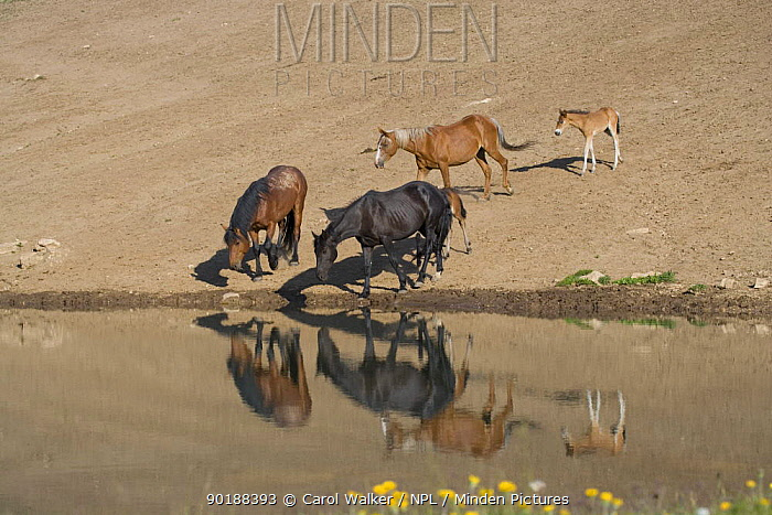 Wild horses (Equus caballus) two mares, black and sorrel, two foals, bay and dun, with bay stallion at water, Pryor Mountains, Montana, USA  -  Carol Walker/ npl