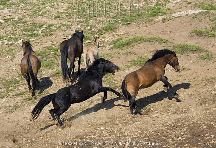 Wild horses (Equus caballus) black stallion chasing bay stallion, with dun mare, bay mare and dun foal, Pryor Mountains, Montana, USA  -  Carol Walker/ npl