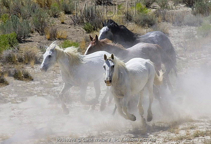 Wild horses (Equus caballus) Gray stallion, gray mare, blue roan mare, red roan stallion galloping whilst being round up in Adobe Town, Southwestern Wyoming, USA  -  Carol Walker/ npl
