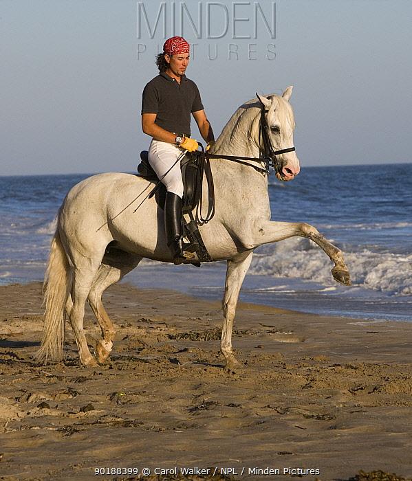 Gray Andalusian Mare (Equus caballus) with rider, spanish walking along beach, Ojai, California, USA  -  Carol Walker/ npl