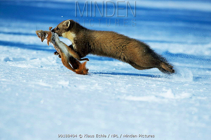 Pine marten (Martes martes) running with Red squirrel prey, running over snow, Germany  -  Klaus Echle/ npl