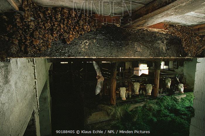 Colony of breeding female Geoffrey's bats (Myotis emarginatus) in cow shed, Germany  -  Klaus Echle/ npl