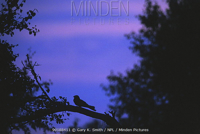 Nightjar (Caprimulgus europaeus) silhouette on branch, Norfolk, UK  -  Gary K. Smith/ npl
