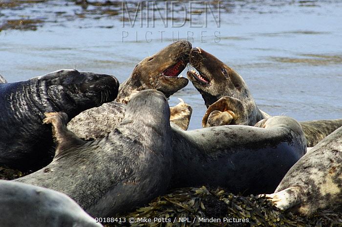 Grey seal (Halichoerus grypus) young males fighting, Bardsey island, Gwynedd, Northern Wales, UK  -  Mike Potts/ npl