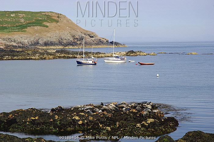 Grey seals (Halichoerus grypus) resting on seaweed covered rocks with boats in bay, Bardsey island, Gwynedd, Northern Wales, UK  -  Mike Potts/ npl