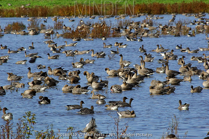 Pink footed geese (Anser fabalis brachyrhynchus)  -  Mike Potts/ npl