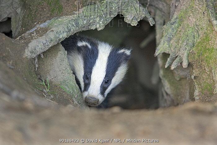 Juvenile Badger (Meles meles) emerging from set, Wiltshire, UK  -  David Kjaer/ npl