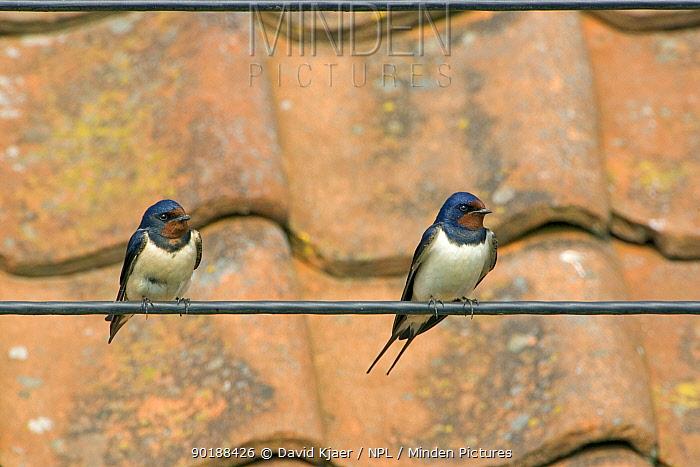 Barn Swallow (Hirundo rustica) perched on telegraph wire, Wiltshire, UK  -  David Kjaer/ npl