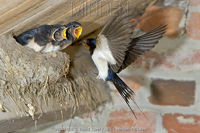Barn Swallow (Hirundo rustica) feeding young at nest, Wiltshire, UK  -  David Kjaer/ npl
