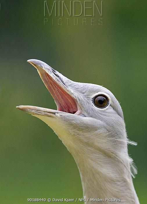 Immature male Great Bustard (Otis tarda) in breeding plumage, Captive, UK  -  David Kjaer/ npl