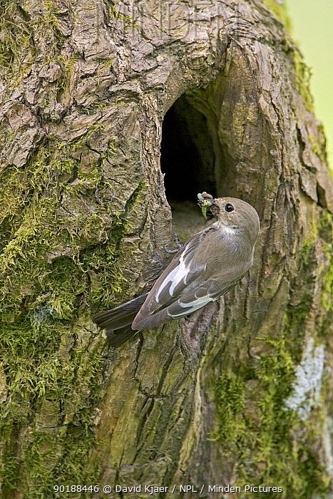 Female Pied Flycatcher (Ficedula hypoleuca) with insects in beak at nest hole in tree, Wales UK  -  David Kjaer/ npl