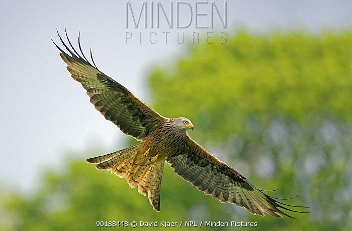 Underside of Red Kite (Milvus milvus) in flight, Wales UK  -  David Kjaer/ npl