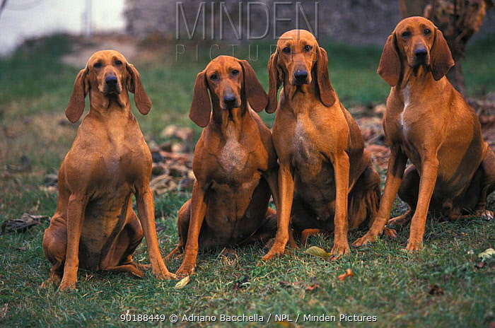 Domestic dogs, four smooth, short-haired Segugio Italiano hounds sitting in a row  -  Adriano Bacchella/ npl