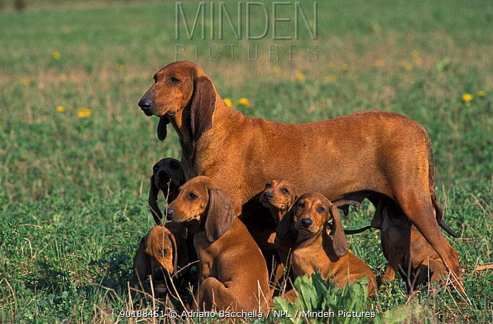Domestic dogs, smooth, short-haired Segugio Italiano hound with six puppies  -  Adriano Bacchella/ npl