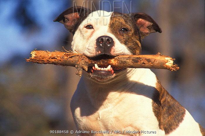 Domestic dog, Staffordshire Bull Terrier carrying stick in its mouth  -  Adriano Bacchella/ npl