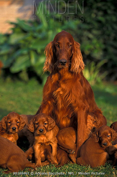 Domestic dog, Irish, Red Setter mother with her litter of puppies  -  Adriano Bacchella/ npl