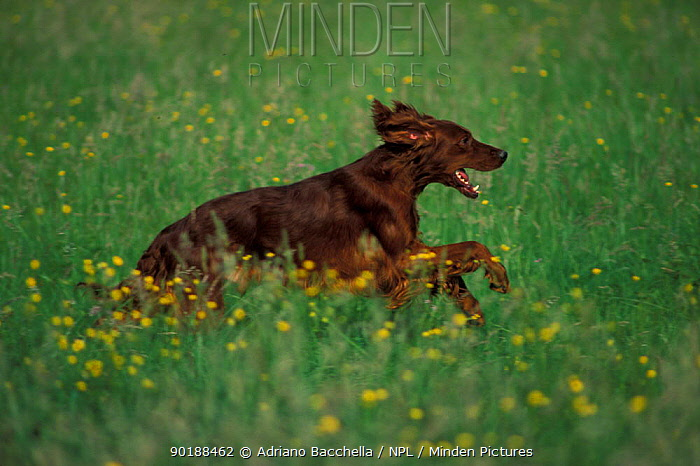Domestic dog, Irish, Red Setter running in field  -  Adriano Bacchella/ npl