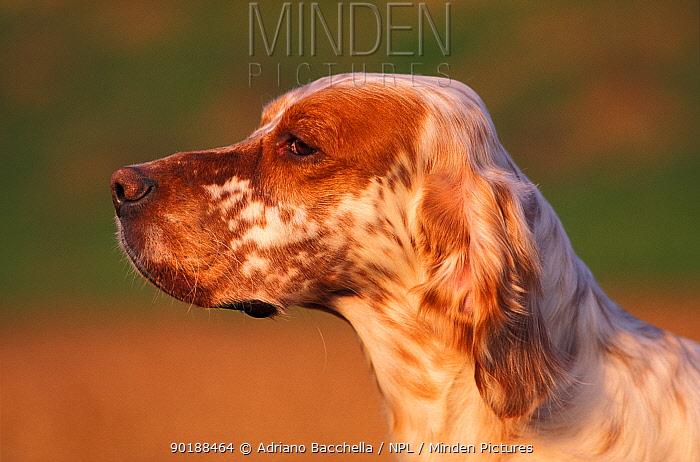 Domestic dog, orange-speckled English Setter profile  -  Adriano Bacchella/ npl