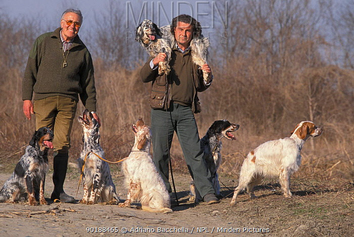 Two men with pack of domestic dogs, English Setters  -  Adriano Bacchella/ npl