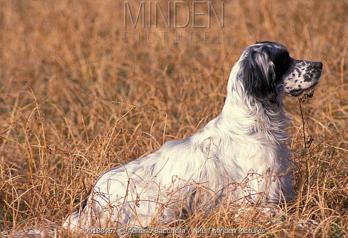 Domestic dog, English Setter sitting in field  -  Adriano Bacchella/ npl