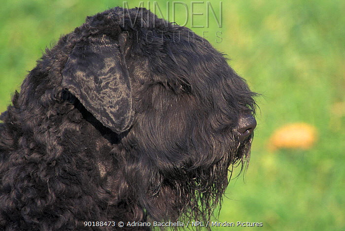 Domestic dogs, Russian Black Terrier profile  -  Adriano Bacchella/ npl