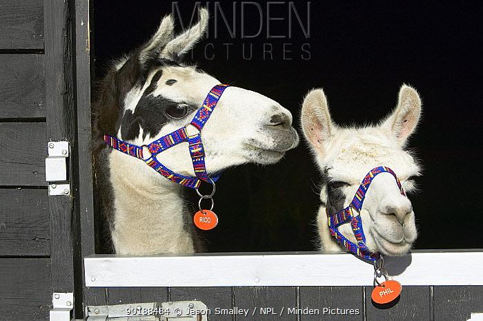 Domestic llamas (Lama glama) looking over stable door, UK  -  Jason Smalley/ npl