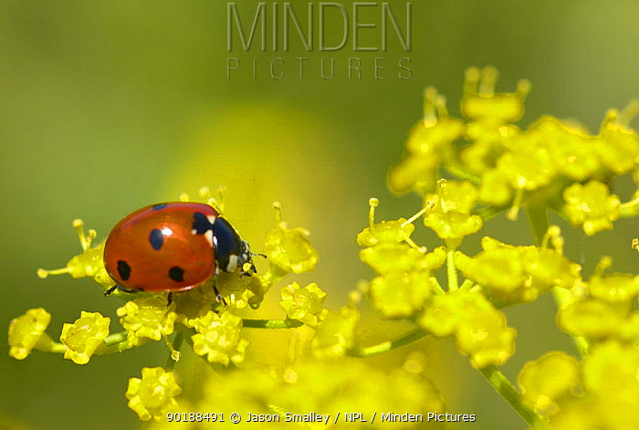Seven-spot ladybird (Coccinella septempunctata) on Fennel flowers, UK  -  Jason Smalley/ npl