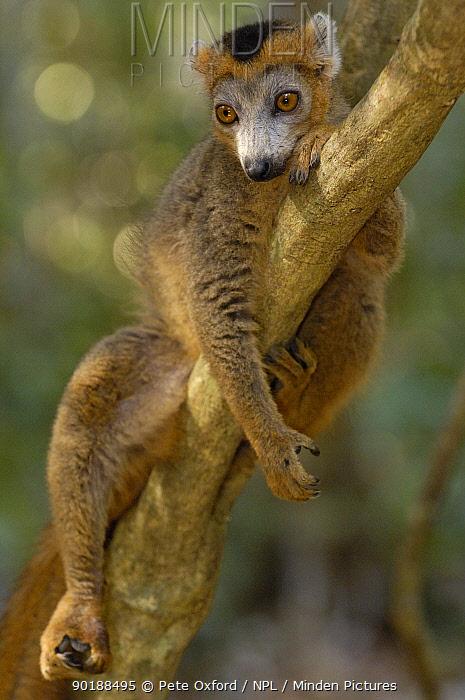 Crowned Lemur (Eulemur coronatus) male Ankarana Special Reserve Northern MADAGASCAR  -  Pete Oxford/ npl