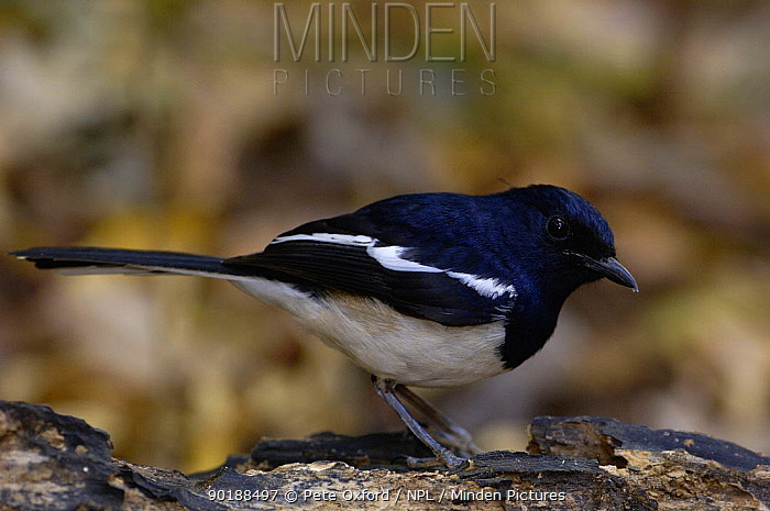 Madagascar magpie-robin male (Copsychus albospecularis) Ankarana Special Reserve Endemic, NW MADAGASCAR  -  Pete Oxford/ npl