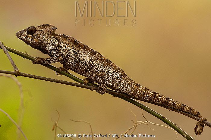 Oustalet's chameleon (Furcifer oustaleti) Loky-Manambato, Daraina Northern MADAGASCAR  -  Pete Oxford/ npl
