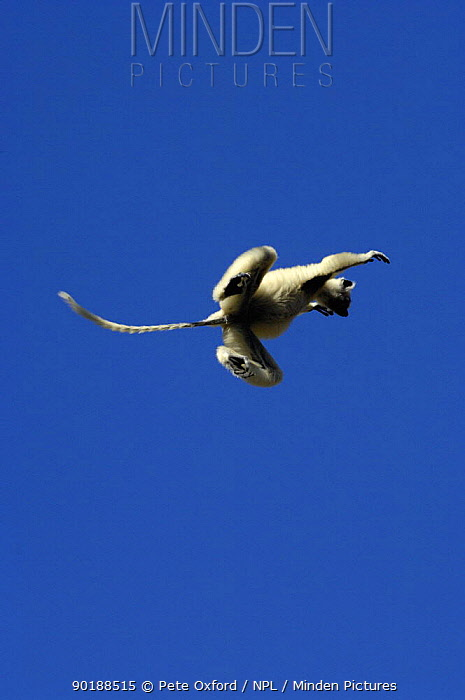 Golden-crowned, Tattersall's sifaka (Propithecus tattersalli) leaping from tree to tree, Daraina, NE MADAGASCAR  -  Pete Oxford/ npl