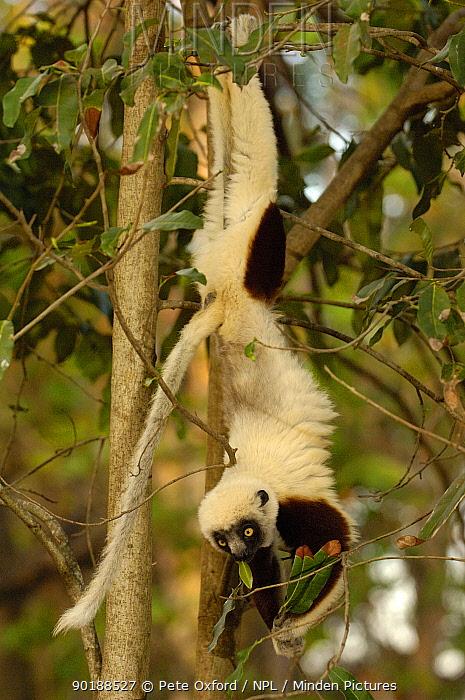 Coquerel's sifaka (Propithecus coquereli) handing upsidedown feeding, Ankarafantsika Strict Nature Reserve, Western deciduous forest MADAGASCAR  -  Pete Oxford/ npl