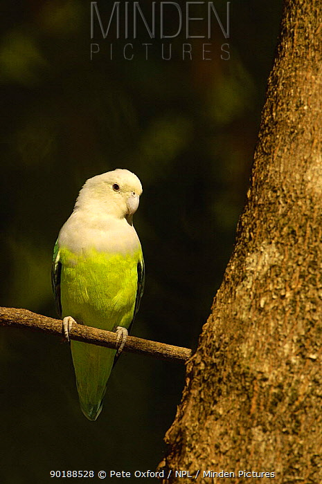 Gray-headed lovebird (Agapornis cana) Ankarafantsika Nature Reserve, Western deciduous forest MADAGASCAR, endemic  -  Pete Oxford/ npl
